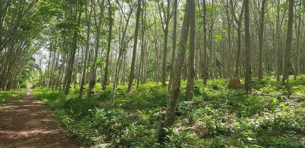 Great Value Land 4 Rai Rubber Plantation Lanta Island